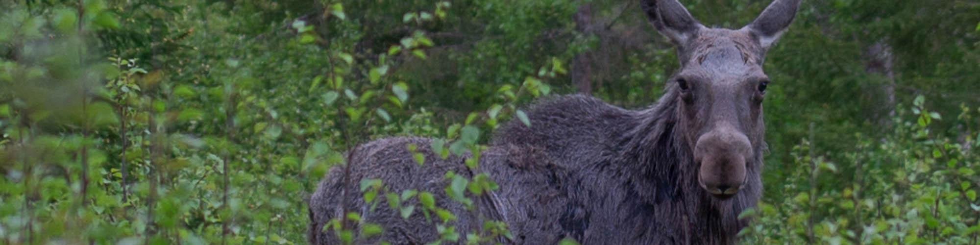 Åfjord Laksecamping - elg